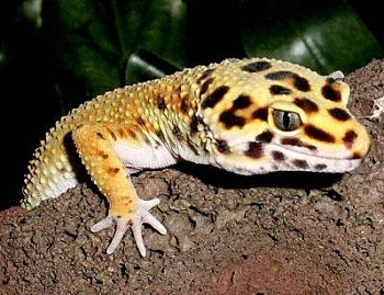 how to ship leopard gecko