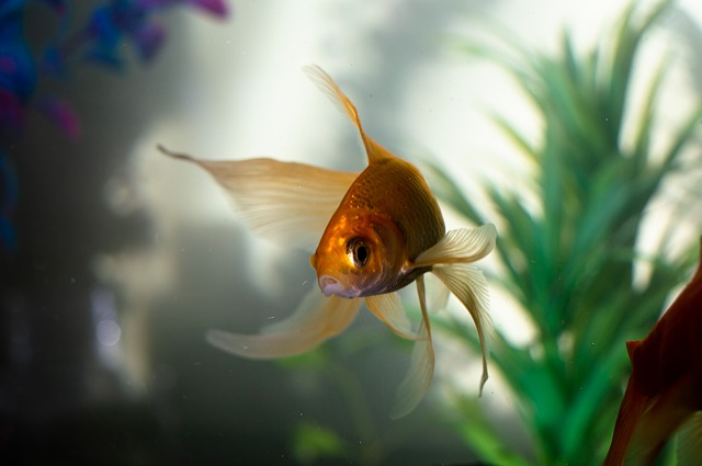 shipping gold fishes