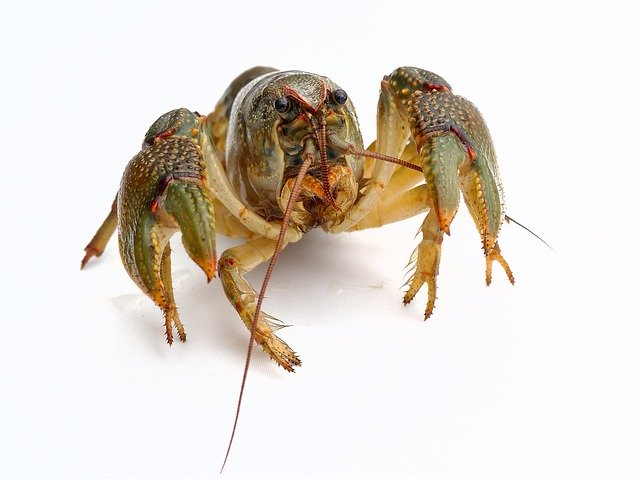 shipping live lobster