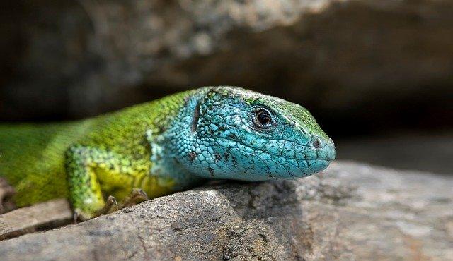 shipping salamanders