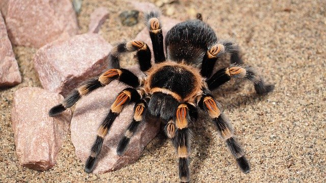 shipping a tarantula