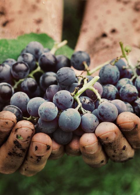 grapes dirty hands vinosanto vineyards