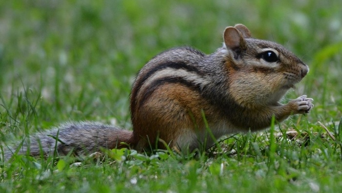 How to Get Rid of Chipmunks Humanely photo