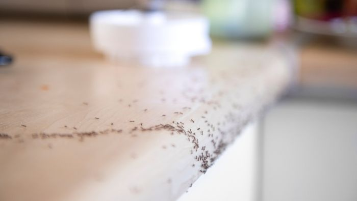 Inexpensive All-Natural Ant Repellents photo