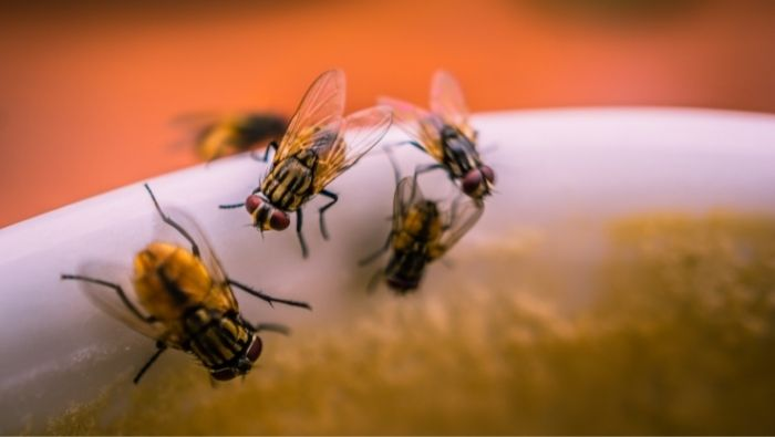 How to Get Rid of Fruit Flies in House photo