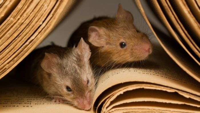 Frugal Methods for Getting Rid of Field Mice photo