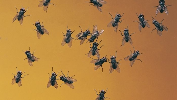 Frugal Fly Control Remedies photo