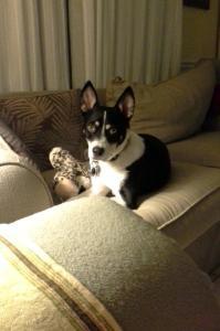 Barbi, a Deaf Alert Service Dog