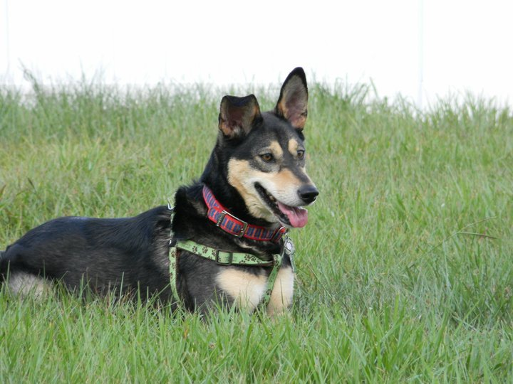 Bella, an Australian Kelpie who is a Deaf Alert Service dog, chilling in the grass. Disability Smart Solutions