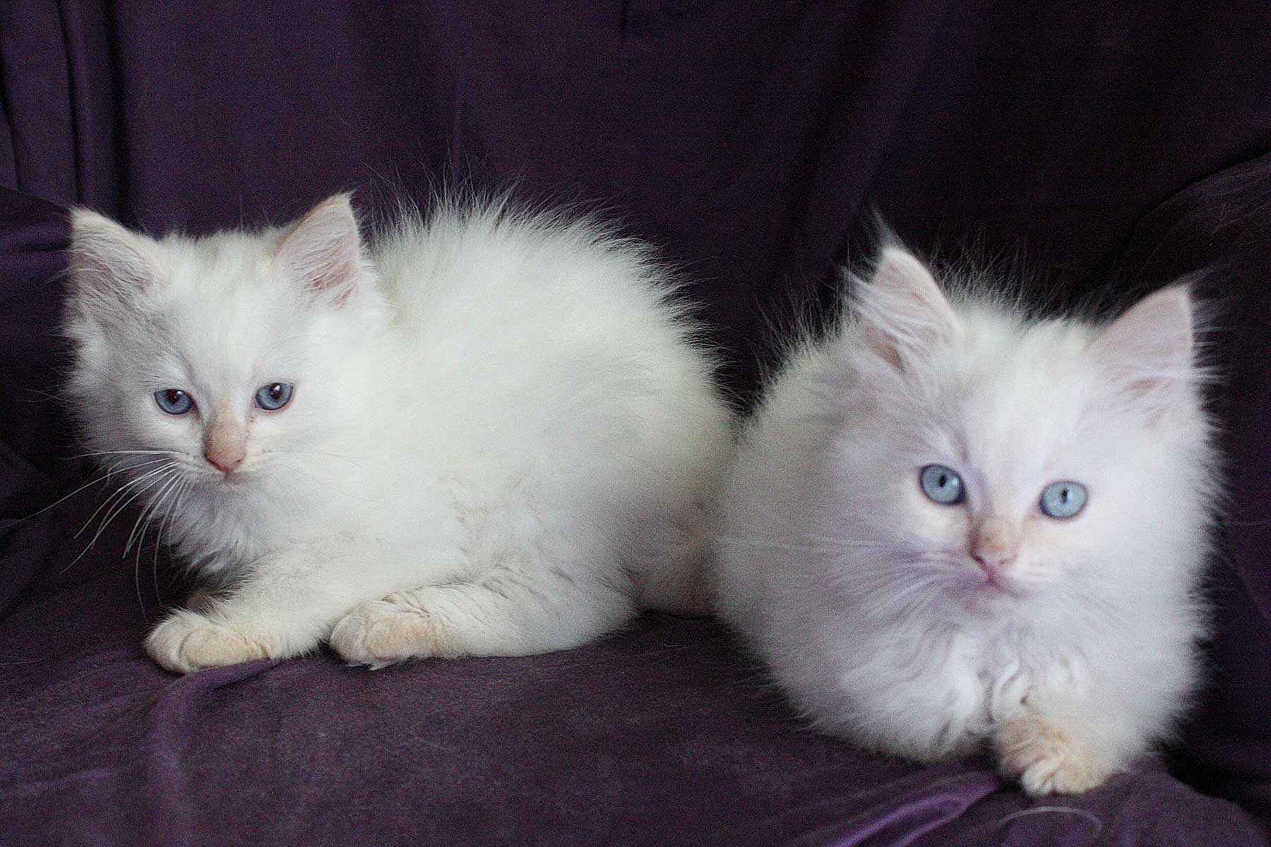 Indian River Ragdolls
