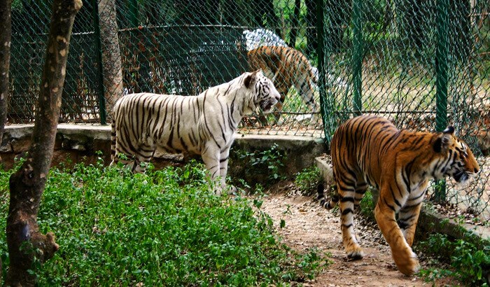 """Bannerghatta National Park, Wildlife getaway from bangalore, WildTrails of India - """"Aggregator App for Your Wildlife Trip"""" (We are an Aggregator App, bringing all of Indian wildlife & Nature resorts into one place to help YOU find your ideal destination/resort based on your personal preferences!! Will aggregate Wildlife/Nature Resorts, National parks, (bird & animal) Sanctuaries, Tiger & Elephant reserves, Organized photographic oriented wildlife tours, Camera, Lens & related equipment Rentals, Cab/Car Rentals, Photography Workshops, info about Indian Animals & birds, Tourist Guides and lot more. Currently we are covering Bandipur, Nagarhole (Kabini & Coorg), Coorg & Bird Sanctuaries close to Bangalore.)"""