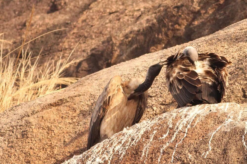 TOP 10 One day Wildlife Getaways From Bangalore - PART 2 - NEXT 3 (4,5 & 6) - Ramanagar Vulture Sanctuary