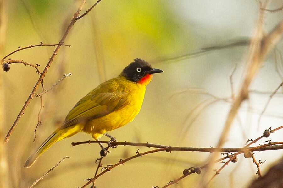 TOP 10 One Day Wildlife Getaways from Bangalore; Savandurga forest; yellow throated bulbul; Wildtrails of india
