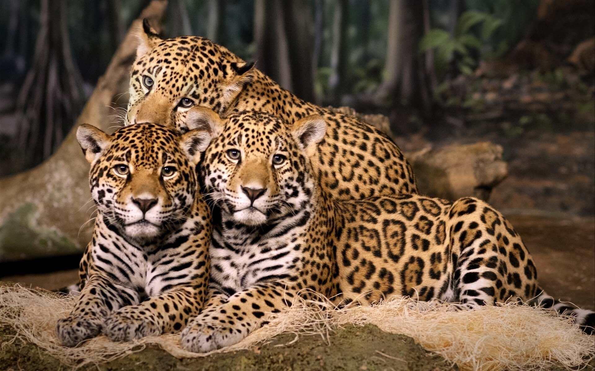 leopard census in india - wildtrails of india