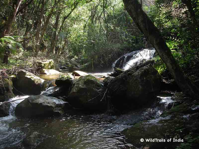 """Anamudi Shola National Park. WildTrails of India - """"One Stop Destination for all Indian Wildlife Enthusiasts"""""""