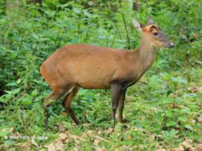 Someshwara wildlife sanctuary, [The WildTrails of India app is the best way to get all the details about Indian wildlife sanctuaries (best travel times, safari details, animal sightings, forest accommodations pairing, wildlife related activities, prices, etc). Learn more about WildTrails of India here.]