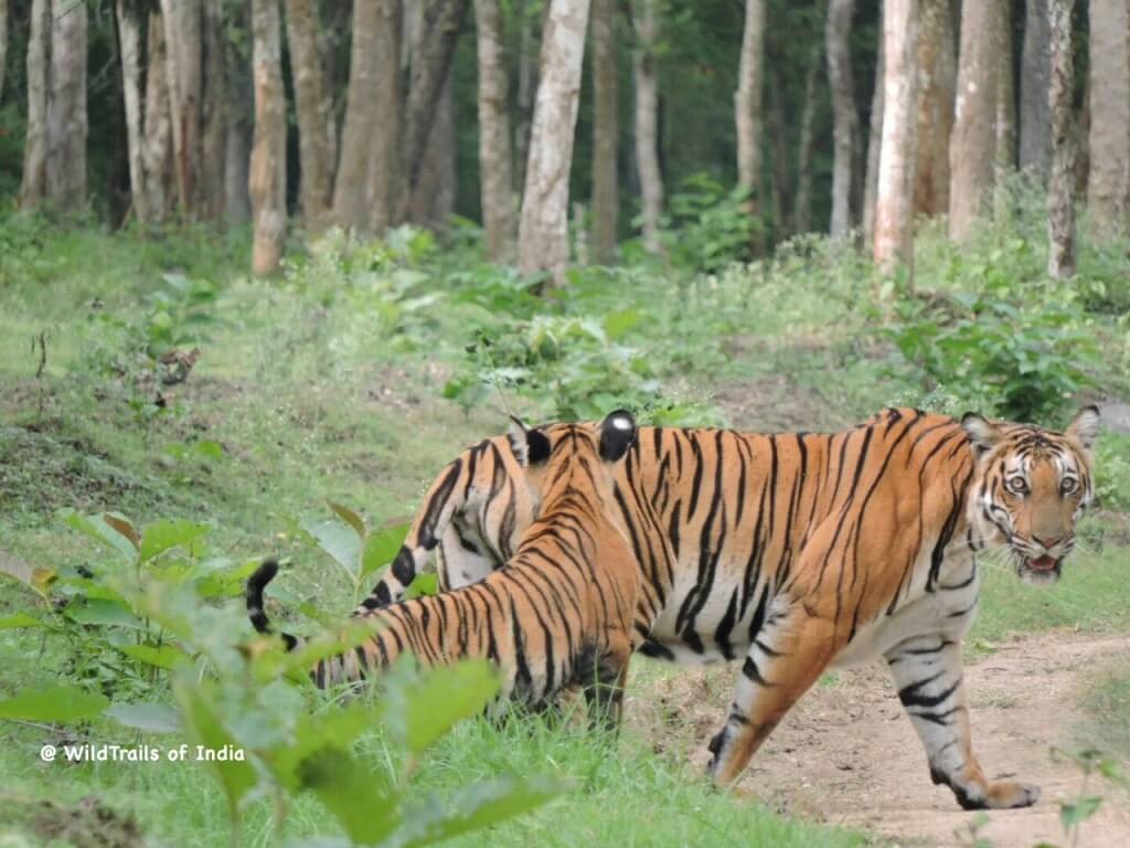 [The WildTrails of India app is the best way to get all the details about Indian wildlife sanctuaries (best travel times, safari details, animal sightings, forest accommodations pairing, wildlife related activities, prices, etc). Learn more about WildTrails of India here.]