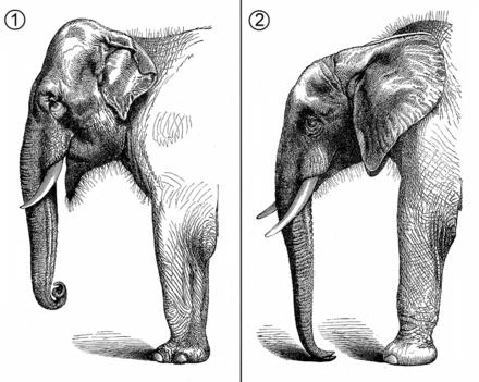 African versus Indian elephant