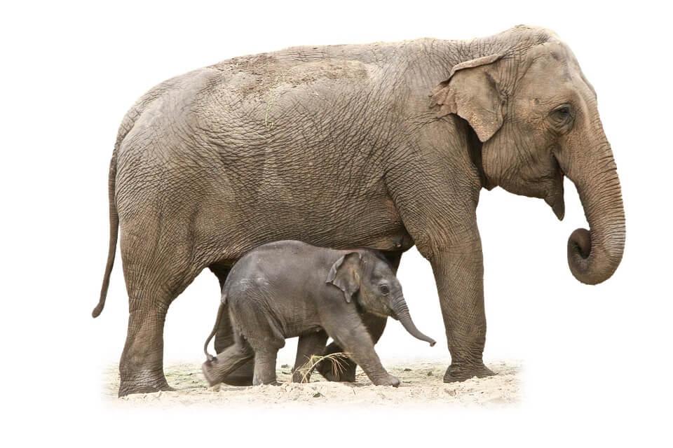 elephantcalf