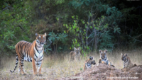 Tiger spotting at Todoba