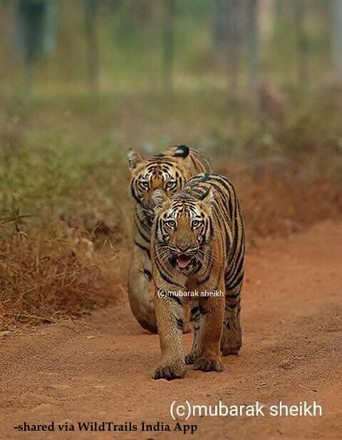 tiger cubs tadoba