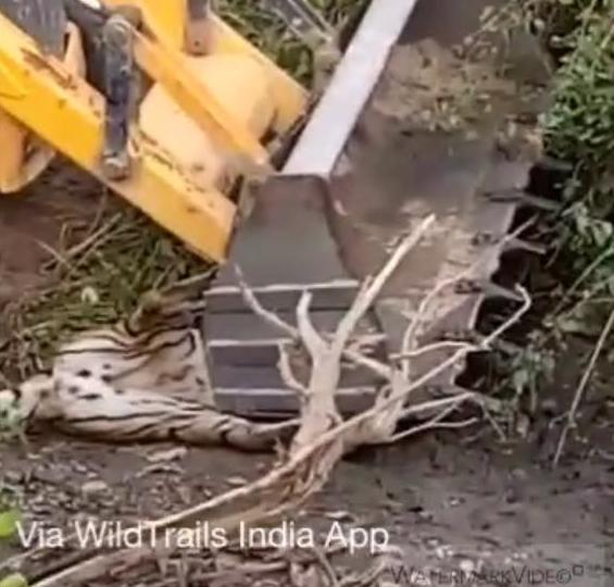 Corbett man-eating tigress killed