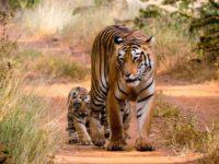 Tadoba Tiger Sightings