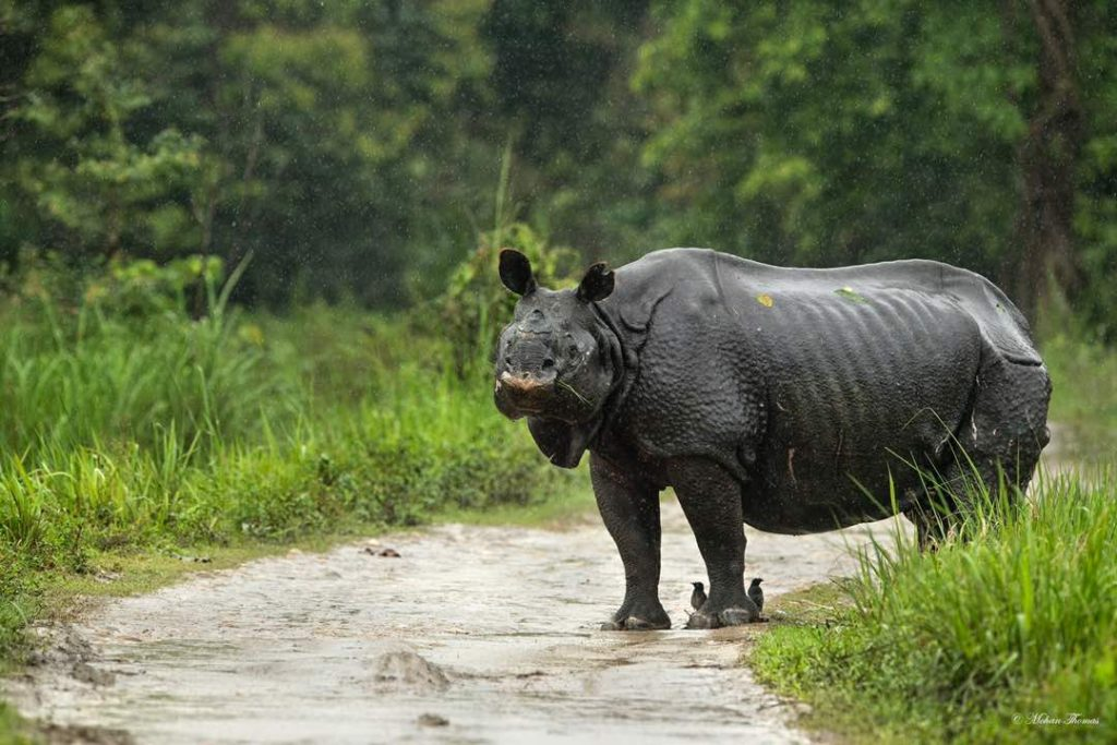 Kaziranga one-horned Rhina