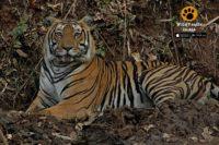 predators of bhadra tiger reserve