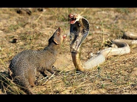 mongoose attacks a snake, a business lesson