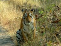 increase odds of sighting tigers in india