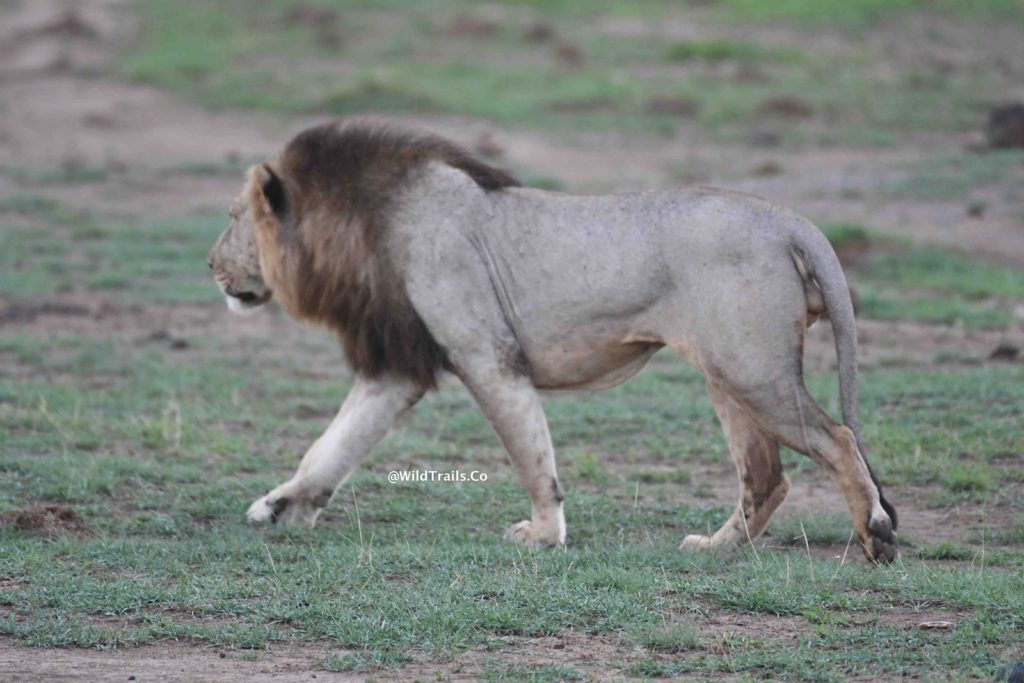 Kenya Safari for Big5 Amboseli male lion