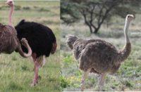 kenyas 2 kinds of ostrich