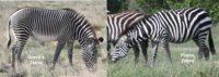 kenya's 2 kinds of zebras