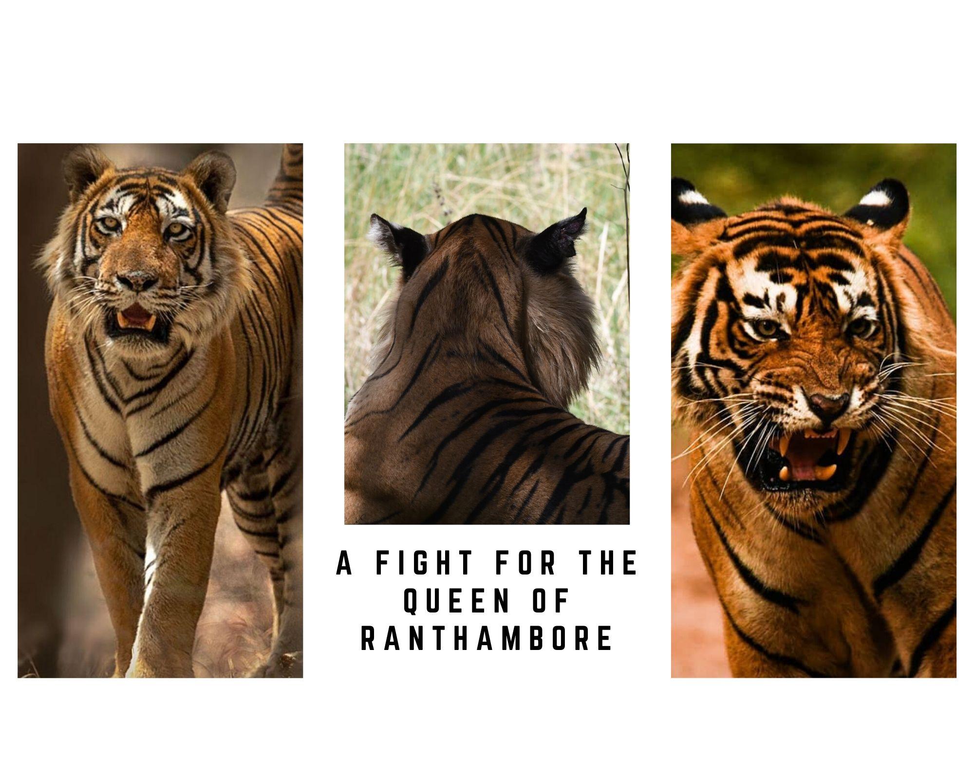 rANTHAMBORE RECENT TIGER SIGHTINGS