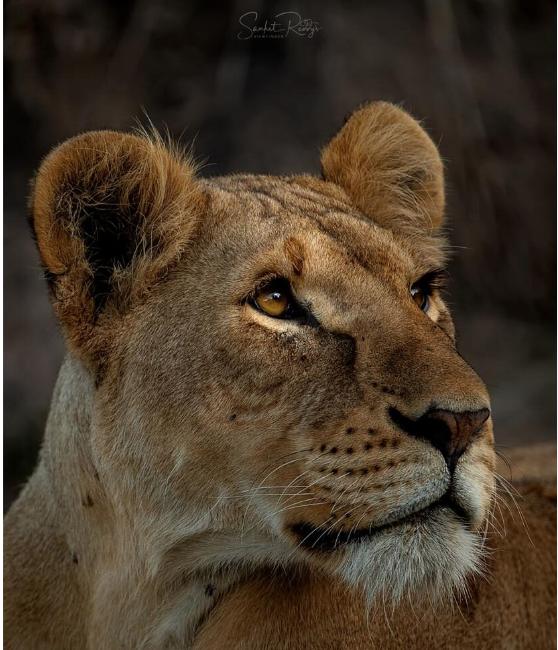 lion poaching