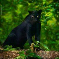 Black Panther in Kabini