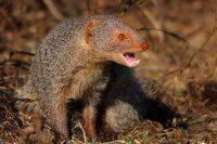 Asian Mongoose