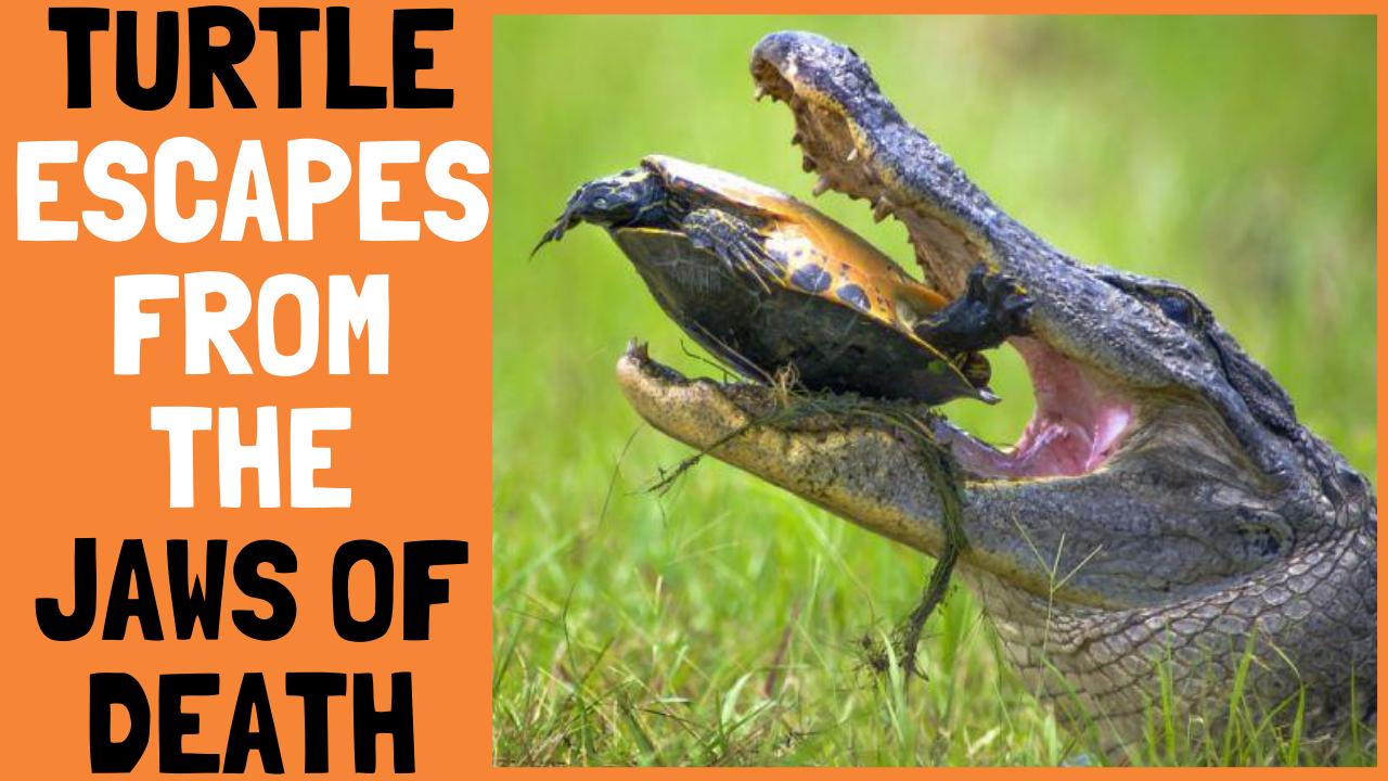 Turtle Escapes From Crocodile