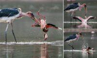 marabou stork attacks flamingo
