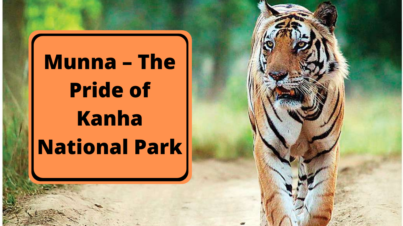 Munna – The Pride of Kanha National Park