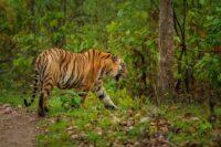 Munna Tiger of Kanha
