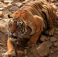 Tigers of Tadoba National Park