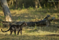where to track Black Panther in India