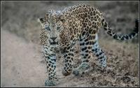 Leopard At Kabini