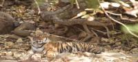 Tigress Noor