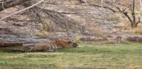 Siddhi Tigress