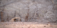 Neel And Nayana Tiger