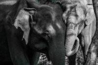 Tactile communication Of Elephants