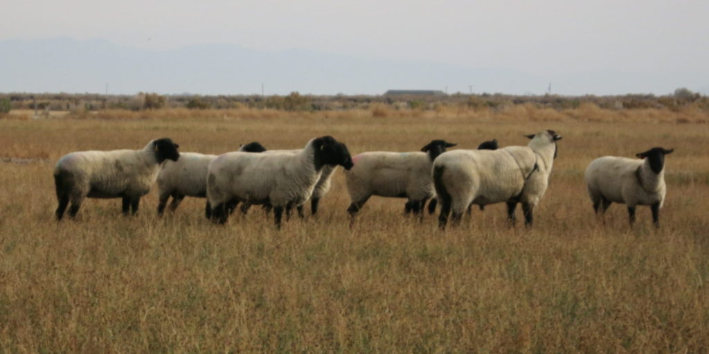 ewes and stud buck out to pasture